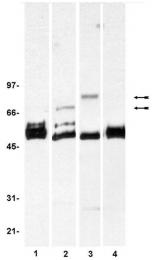 AM32534PU-N - FRS2