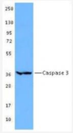 AM32544BT-N - Caspase-3