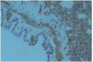 AM32594PU-N - CD49a / ITGA1