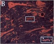 AM32606AF-N - Glutamate receptor 2 / GLUR2