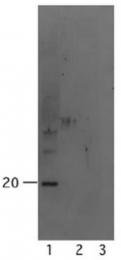 AM32617SU-N - Alpha-Synuclein / SNCA