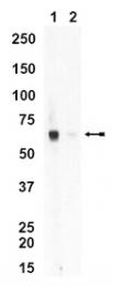 AM32634SU-N - CYP4A10
