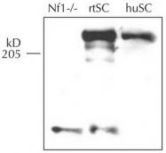 AM32673PU-N - Neurofibromin