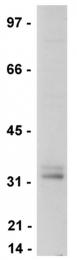 AM32695PU-N - LAT