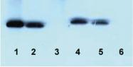 AM32722PU-N - Bcl-2-like 2