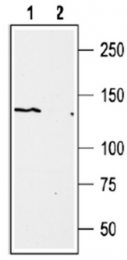 AP32749PU-N - TRPM1 / LTRPC1