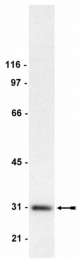 AM32791PU-N - 14-3-3 protein gamma