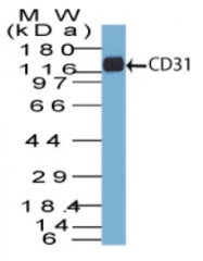 AM32851PU-T - CD31 / PECAM1