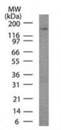 AM32857PU-T - Podocalyxin / PODXL