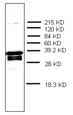 AM32968PU-N - Prothymosin alpha