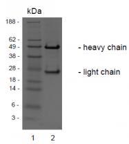 AM32986PU-N - HGF receptor