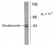AM32994PU-N - Doublecortin