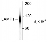 AM32995PU-N - CD107a / LAMP1