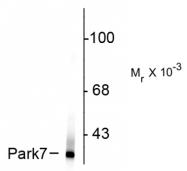 AM32997PU-N - DJ-1 / PARK7