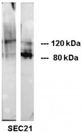 AM33005SU-N - CD324 / Cadherin-1