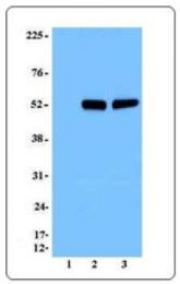 AM33043PU-N - ROR-gamma / RORC