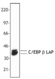 AM33044PU-S - CEBPB