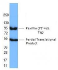 AM33052PU-S - Paxillin /  PXN