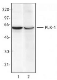 AM33053PU-N - PLK1