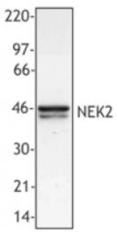 AM33056PU-N - NEK2