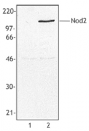 AM33071PU-N - CARD15 / NOD2