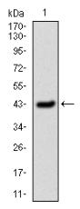 AM33172PU-N - SERPINE1 / PAI1