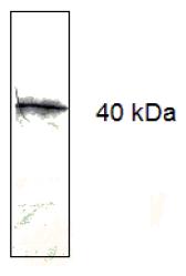 AM33411PU-N - CD279 / PD1