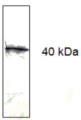 AM33412PU-N - CD279 / PD1