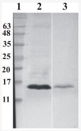 AM33434PU-N - RNASE7