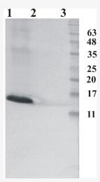 AM33435PU-N - RNASE7