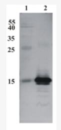 AM33441PU-N - CDNF