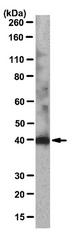 AM39080PU-N - Lumican