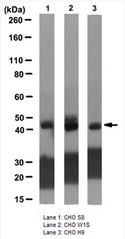 AM39127PU-N - Isocitrate dehydrogenase / IDH
