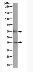 AM39131PU-N - Cyclin A2