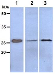 AM50045PU-N - CD152 / CTLA4