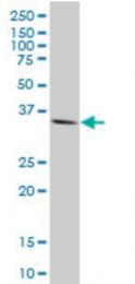 AM50087PU-N - Homeobox protein goosecoid / GSC