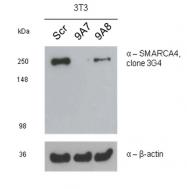 AM50458PU-N - SMARCA4 / BRG1
