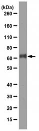 AM50533PU-N - GPR56 / TM7XN1