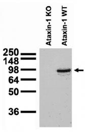 AM50536PU-N - Ataxin-1