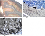 AM50561PU-N - Glutamate receptor 2 / GLUR2