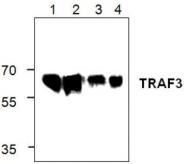 AP00241PU-N - TRAF3 / CRAF1