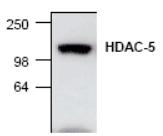 AP00274PU-N - HDAC5