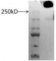 AP00597PU-N - Proteoglycan 4