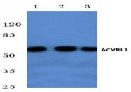 AP01172PU-N - ACVRL1 / ALK1