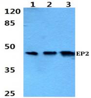 AP01201PU-N - PTGER2