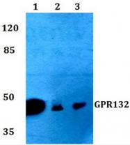 AP01208PU-N - GPR132 / G2A