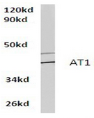 AP01262PU-N - Type-1 angiotensin II receptor (AT1)
