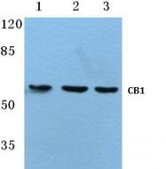 AP01265PU-N - Cannabinoid receptor 1
