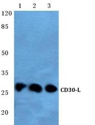 AP01279PU-N - CD153 / CD30L