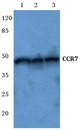 AP01295PU-N - CD197 / CCR7